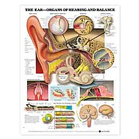 The Ear-Organs Of Hearing and Balance Chart