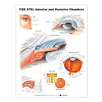 The The Eye: Anterior and Posterior Chambers Anatomical Chart